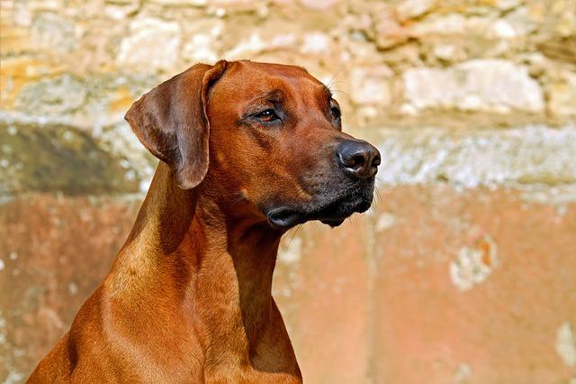pies rasy mieszanej