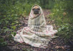 odporność psa
