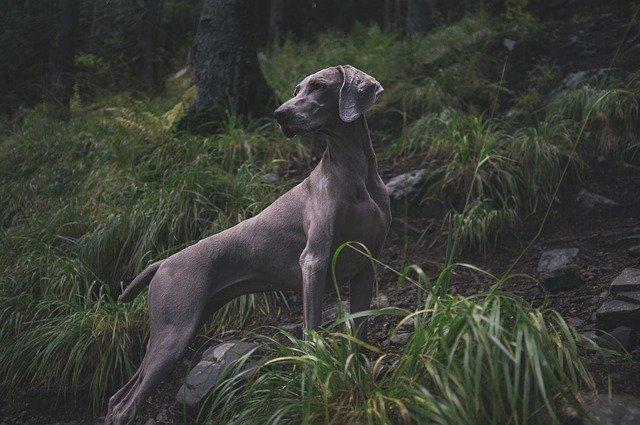 akcesoria dla psów myśliwskich - pies myśliwski